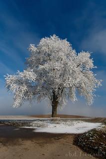 Biecht-Baum