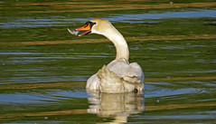 spring-cleaning swan-style (upsa-daisy) Tags: