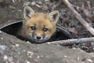 Red Fox Pup (Kit) - Eardley, Quebec