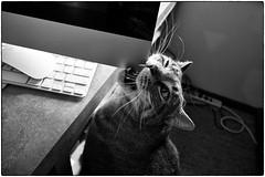 Jackson, June 08, 2014 (Maggie Osterberg) Tags: bw cat macintosh blackwhite nebraska imac jackson lincoln fujifilm  x20 maggieo silverefexpro2