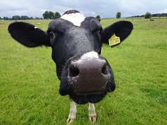 Cow with no body. (pepemczolz) Tags: park sculpture field outdoors cow head farm moo