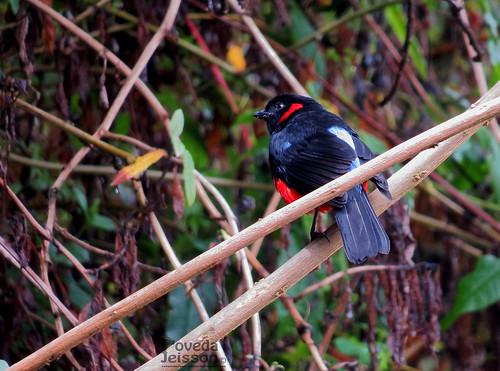 Anisognathus igniventris-Clarinero o Tangara escarlata-Scarlet-bellied Mountain Tanager