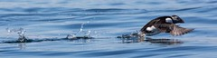 Getting up flying speed (Explored 1/7/2014). (Smudge 9000) Tags: birds nt wildlife northumberland puffin farneislands 2014
