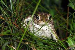 DS0D1116-Natterjack-Toad (duncancooke.happydayz) Tags: uk wildlife amphibian toad british amphibians natterjack