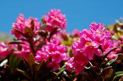 Rhododendron ferrugineum (upsa-daisy) Tags: