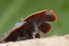 Platerodrilus ruficollis IMG_1762 copy (Kurt (OrionHerpAdventure.com)) Tags: beetle coleoptera lycidae trilobitebeetle lycid duliticola duliticolasp duliticolahoiseni platerodrilus platerodrilussp platerodrilusruficollis