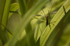 Crane Fly (njumer) Tags: nature digital canon insect photography rebel fly photo photos crane michigan wildlife insects flies dslr invertebrate invertebrates t2i