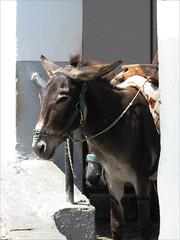 Waiting (pefkosmad) Tags: vacation holiday hellas donkey greece acropolis greekislands griechenland rhodes lindos dodecanese donkeystation pefkosjune2014