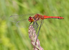 Ruddy darter (Roger H3) Tags: insect dragonfly darter odonata ruddy