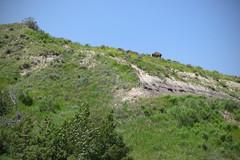 American Bison (Bob G. Bell) Tags: leica buffalo northdakota badlands plains bison bobbell