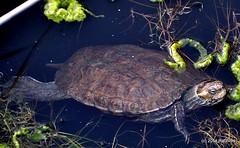 DSC_0300 (rachidH) Tags: nature island hellas greece turtles kefalonia tortue karavomylos rachidh