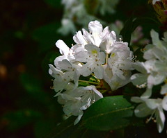 Dingmans Falls (The Queen of Spain) Tags: park pink flowers summer flower nature floral rural botanical petals natural blossom country july petal pa rhododendron bloom pike delicate pikecounty nepa rhododendrons 2014 dingmansfalls rhodies pennsyvania dingman dingmans pikepa