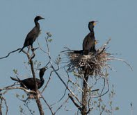 double breasted cormorants 05 06 2013 B Stems