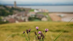 I'm On My Way (4oClock) Tags: uk summer blur green up saint st golf scotland nikon focus andrews dof close purple fife britain thistle july nikkor dslr 18105 2014 d90