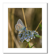 Common Blue Butterfly (Travels with a dog and a Camera :)) Tags: park uk blue england southwest west flower art digital photoshop butterfly ed pentax south july cc 55 common smc 50200mm wr k5 lightroom 2014 redfield commonbluebutterfly f456 pentaxda netham justpentax pentaxart nethampark smcpentaxda50200mmf456edwr pentaxk5 photoshopcc2014 lightroom55