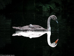 You Can Become What You Want (A Swan's Reflecting) by Simon & His Camera (Simon & His Camera) Tags: abstract reflection bird water beauty contrast river distorted outdoor surreal symmetry swans conceptual middlesex isleworth syon syonpark syonhouse syonhousepark simonandhiscamera