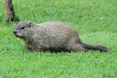 Where's That Wood I Should Be Chucking? (Diane Marshman) Tags: summer brown black nature grass fur rodent pennsylvania wildlife large ears pa woodchuck groundhog short marmot northeast sciuridae