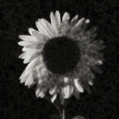 """Sunflower at night. • <a style=""""font-size:0.8em;"""" href=""""https://www.flickr.com/photos/61640076@N04/14799984600/"""" target=""""_blank"""">View on Flickr</a>"""