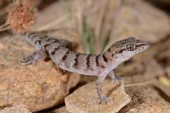 Bynoes gecko (Heteronotia binoei) (shaneblackfnq) Tags: mt lizard surprise gecko shaneblack heteronotia binoei bynoes