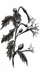 Jimson Weed Left (ianulimac) Tags: flowers plants white black art illustration forest pen ink drawing line swamp devil drawn datura herb locoweed inkwash stinkweed atropine scopolamine daturastramonium jamestownweed toxins tolguacha tomwalker hyoscyamine pricklyburr devilssnare poinson tropanealkaloids crookedpinkies crookedpinkiesart devilandtomwalker nightshadehellsbells devil'strumpet devil'sweed devil'scucumber