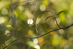 vines (louisa_catlover) Tags: park winter plant nature canon garden eos dof native bokeh australian australia melbourne august