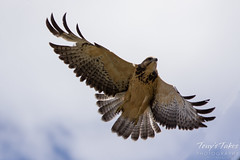 Juvenile Swainson's Hawk launch sequence (3 of 3)