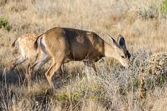 Black-tailed Deer (Robinsegg) Tags: california pointlobos blacktaileddeer odocoileushemionuscolumbianus