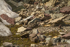 """White-tailed Ptarmigan • <a style=""""font-size:0.8em;"""" href=""""http://www.flickr.com/photos/63501323@N07/14906067855/"""" target=""""_blank"""">View on Flickr</a>"""