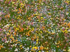 Flower Garden Using Rice Field (izunavi) Tags: flower japan  ricefield izu flowergarden    matsuzaki   matsuzakitown  izuphoto flowergardenusingricefield