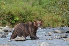 Caught one! (raewynp) Tags: bear usa water alaska fishing stream wildlife salmon catch sow brownbear ursusarctos katmai coastalbrownbear katmainp