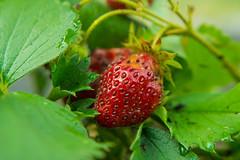 _DSC2509 (Simply Angle) Tags: plant fruit garden outdoors washington strawberry sony strawberries fdmount canonfd50mmf18 nex3 fdnex