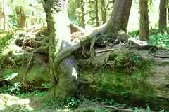 Tree hugging fallen tree, called Nurselogs (daveynin) Tags: tree green moss rainforest branch nps bark trunk olympic nurselog deaftalent deafoutsidetalent deafoutdoortalent