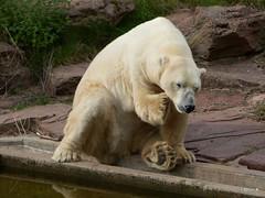 11-noch einmal kratzen (TiGa-Nbg) Tags: felix tiger polarbear vera tiergarten nrnberg katinka samur sibirischer