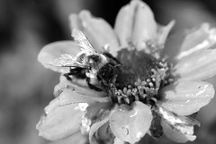 DSC_9710-001_neat (youngryand) Tags: county blackandwhite bw white black flower macro uw nature beautiful up field gardens closeup wisconsin bug insect blurry nikon colorful university close natural display bokeh gray vivid sharp depthoffield bee bumblebee madison stunning uwmadison dane pollen dslr bumble depth d60 danecounty nikondslr nikond60 universitydisplaygardens