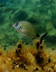 Bream, Xatt LAhmar, Gozo (yayapapaya77) Tags: plants fish underwater pflanzen diving malta fisch bream mediterraneansea gozo tauchen unterwasser mittelmeer brasse canonpowershotg15 xattlahmar
