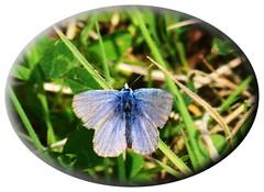 Tiny common blue