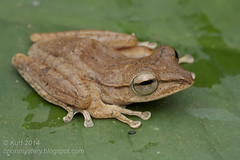 Polypedates discantus IMG_3989 copy (Kurt (orionmystery.blogspot.com)) Tags: amphibian frog frogs tropical amphibians herp herps herpetology amphibia herpetofauna herping tropicalfrogs discantus polypedates polypedatesdiscantus malayanslendertreefrog