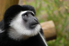 Mt Kilimanjaro colobus (James L Taylor) Tags: