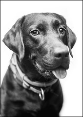 Connie - studio BW (Tomas.Kral) Tags: portrait bw dog animal canon studio 50mm blackwhite labrador strobe speedlite yn560ii