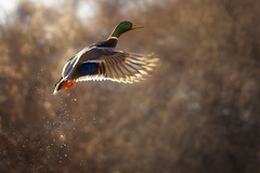 Angels Fly (karenhunnicutt) Tags: duck wildlife angels mallard minneapolisphotographer karenmeyere karenhunnicutt karenmeyer minneapolisfineart minneapoliswildlifephotographer karenhunnicuttophotographycom