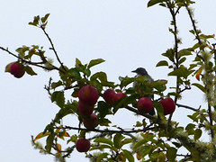 Apples for Breakfast (Room With A View) Tags: bird three apples