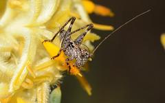 Mr Cool - the Katydid (jeans_Photos) Tags: york fred pollen nymph katydid orthoptera nativebees wandoonationalpark petrophilebrevifolia qualenroad