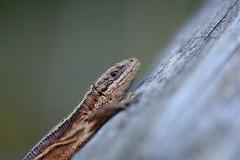 Viviparous lizard, Zootoca vivipara (willjatkins) Tags: britishwildlife viviparouslizard commonlizard zootocavivipara hertfordshirewildlife britishlizards britishamphibiansandreptiles hertfordshirereptiles
