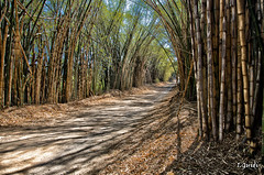 Estrada de bambus (Paths , roads bamboos - Brazil) (I.Guidi) Tags: brazil brasil nikon paths bambu bamboos d7000