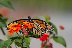 longwood-gardens-29.jpg (Scott Alan McClurg) Tags: orange abstract flower macro green art nature closeup butterfly bug insect close fineart monarch naturephotography