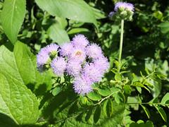 thistle (by zoya) (Huru Lin) Tags: plant flower thistle taiwan taipei