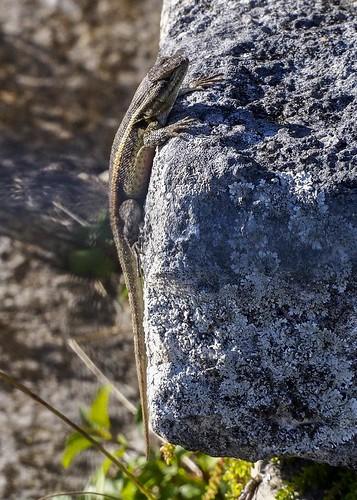 Lizard B240006focPr