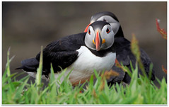 Puffins on Lunga (eric robb niven) Tags: summer walking scotland dundee wildlife isleofmull puffins seabirds ericrobbniven pentaxk50