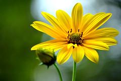 In its heyday (marinadelcastell) Tags: flower fleur yellow jaune flor amarillo gelb giallo bloom bud blume fiore blüte auge capullo groc knospe bourgeon heyday bocciolo apogée apogeo blütezeit