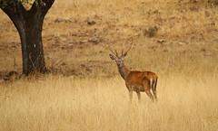 IMG_1058c (berserker170) Tags: ciervo deer eos 7d canon 150500 sigma guadarranques berrea flickrexploreme